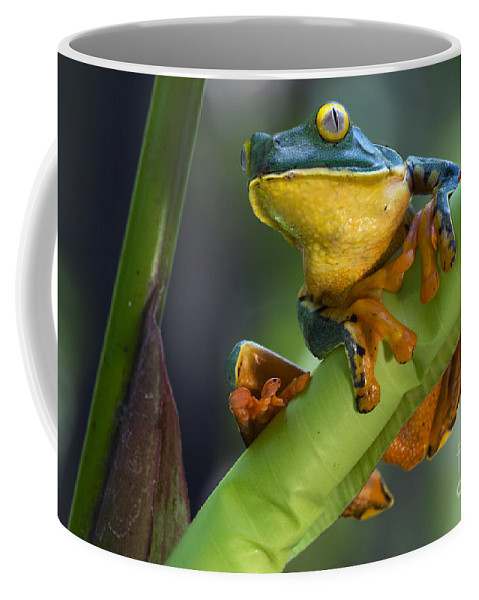 Splendid Leaf Frog Coffee Mug featuring the photograph Agalychnis Calcarifer 4 by Arterra Picture Library