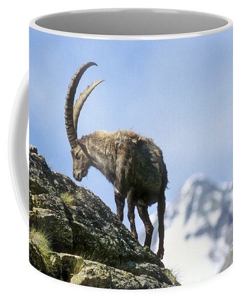 Alpine Ibex Coffee Mug featuring the photograph Alpine Ibex 4 by Arterra Picture Library