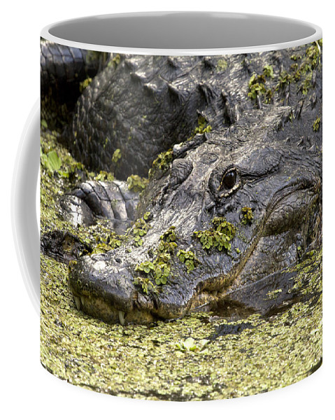 American Alligator Coffee Mug featuring the photograph American Alligator Print by Meg Rousher