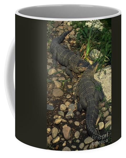 Alligator Coffee Mug featuring the photograph American Alligators by Gary Gingrich Galleries