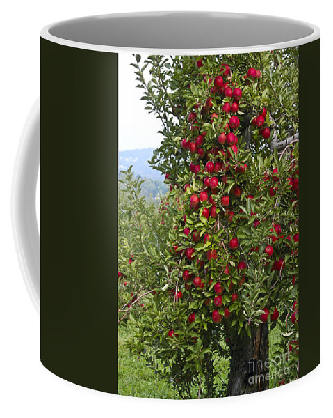 Apple Coffee Mug featuring the photograph Apple Tree by Anthony Sacco