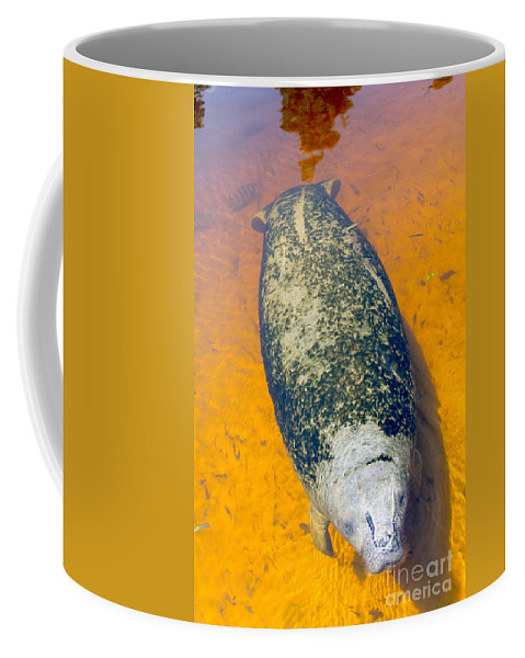 Manatee Coffee Mug featuring the photograph Baby Manatee by Carey Chen