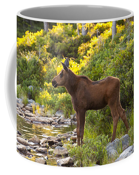 Moose Coffee Mug featuring the photograph Baby Moose Baxter State Park by Glenn Gordon