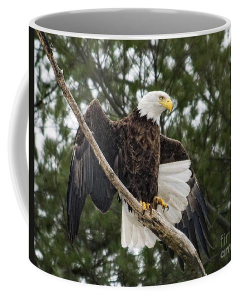 Bald Eagle Coffee Mug featuring the photograph Balancing Act by Claudia Kuhn