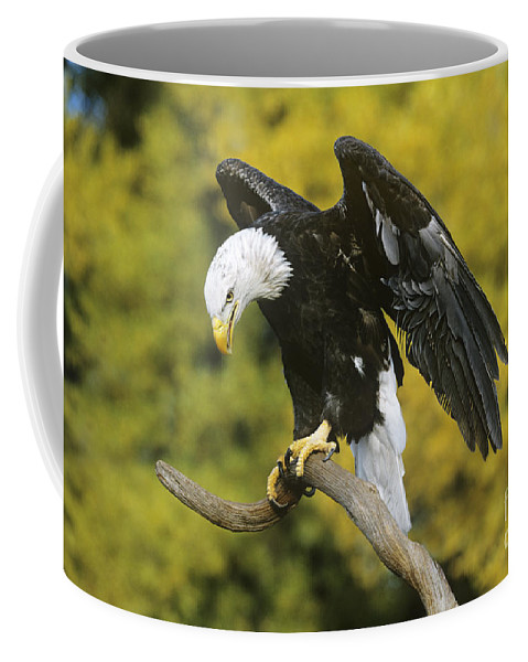North America Wildlife Coffee Mug featuring the photograph Bald Eagle In Perch Wildlife Rescue by Dave Welling