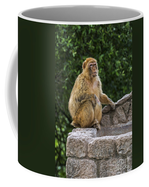 Barbary Macaque Coffee Mug featuring the photograph Barbary Macaque by Arterra Picture Library