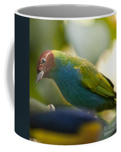 Tanager Coffee Mug featuring the photograph Bay-headed Tanager - Tangara Gyrola by Heiko Koehrer-Wagner
