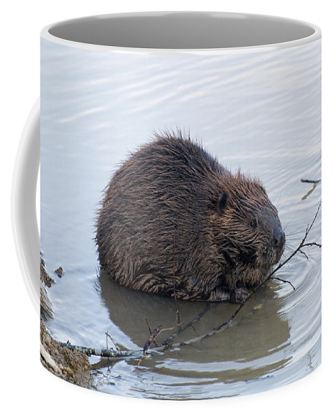 Beaver Coffee Mug featuring the photograph Beaver Chewing On Twig by Chris Flees