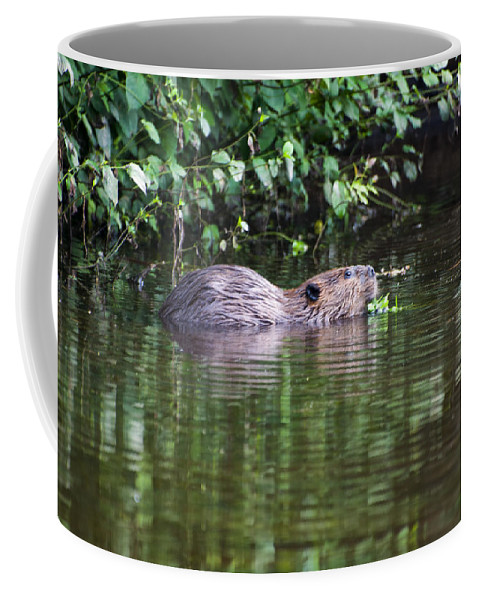 Beaver Coffee Mug featuring the photograph beaver swims in NC lake by Chris Flees