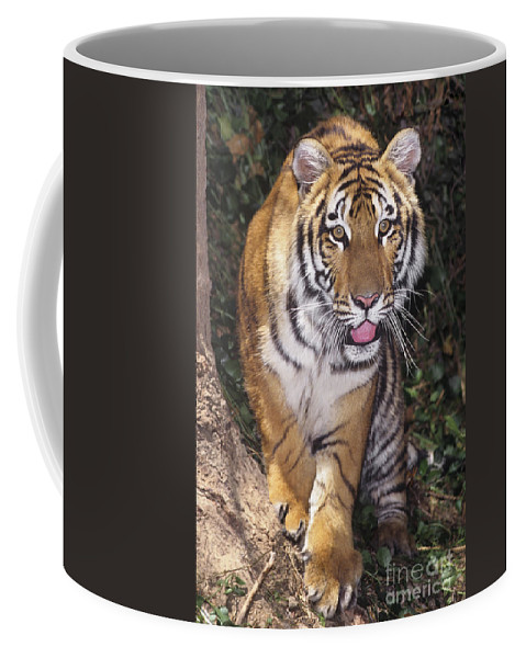 Bengal Tiger Coffee Mug featuring the photograph Bengal Tiger By Tree Endangered Species Wildlife Rescue by Dave Welling