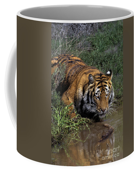 Bengal Tiger Coffee Mug featuring the photograph Bengal Tiger Drinking At Pond Endangered Species Wildlife Rescue by Dave Welling