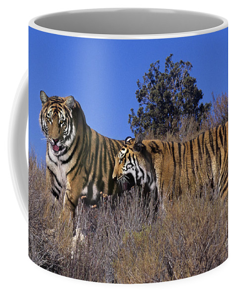 Bengal Tigers Coffee Mug featuring the photograph Bengal Tigers On A Grassy Hillside Endangered Species Wildlife Rescue by Dave Welling
