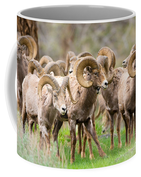 Sheep Coffee Mug featuring the photograph Big Horn Sheep Bachelors by Birdimages Photography