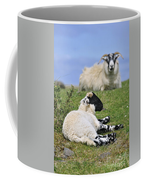 Scottish Black Faced Coffee Mug featuring the photograph Blackface Sheep 2 by Arterra Picture Library