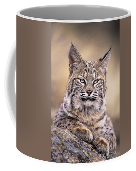 Bobcat Coffee Mug featuring the photograph Bobcat Cub Portrait Montana Wildlife by Dave Welling