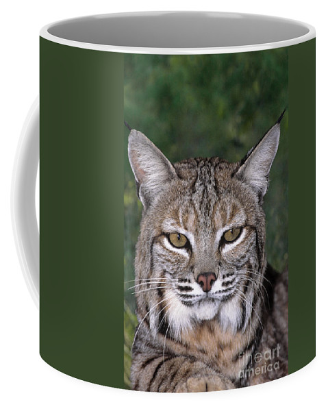 Bobcat Coffee Mug featuring the photograph Bobcat Portrait Wildlife Rescue by Dave Welling