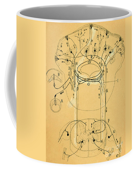 Vestibular Connections Coffee Mug featuring the photograph Brain Vestibular Sensor Connections By Cajal 1899 by Science Source