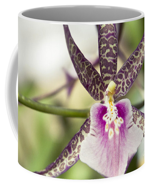 Hawaii Coffee Mug featuring the photograph Bratonia Miltassia Charles M Fitch Izumi Orchid Hawaii by Sharon Mau