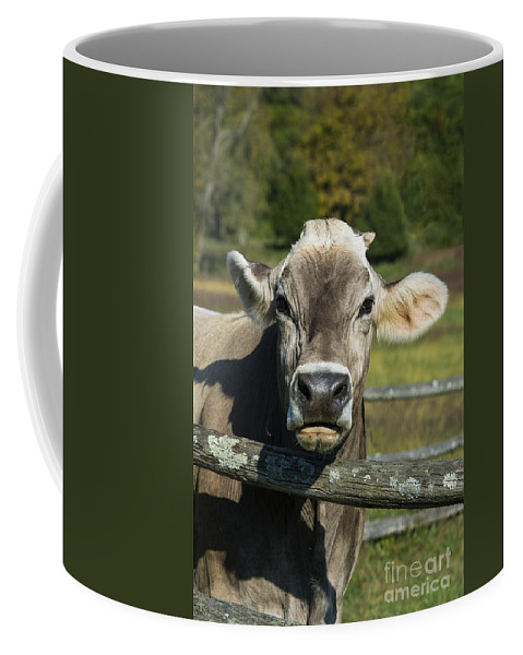 Brown Swiss Coffee Mug featuring the photograph Brown Swiss Cow by John Greim