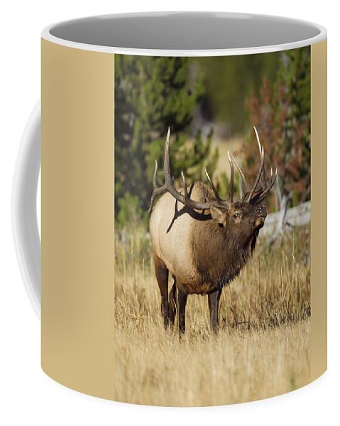 Bull Coffee Mug featuring the photograph Bull Elk II by Gary Langley