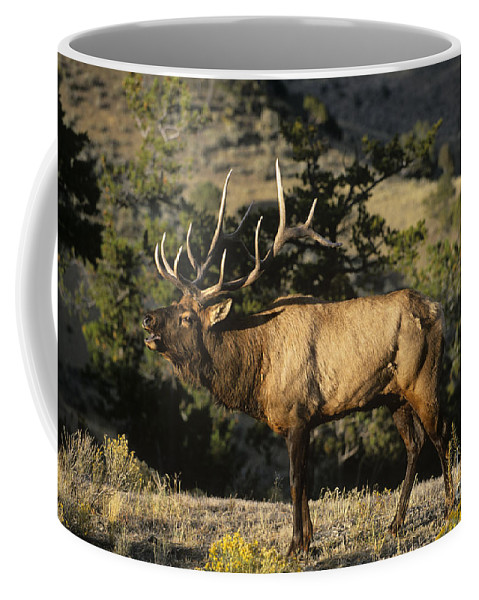 North America Coffee Mug featuring the photograph Bull Elk In Rut Bugling Yellowstone National Park by Dave Welling