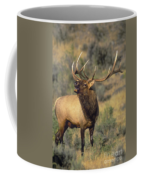 North America Coffee Mug featuring the photograph Bull Elk In Rut Bugling Yellowstone Wyoming Wildlife by Dave Welling