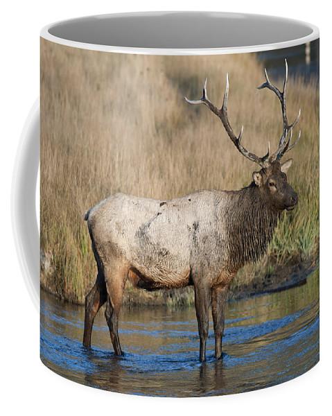 Bull Elk On The Madison River Coffee Mug featuring the photograph Bull Elk On The Madison River by Gary Langley