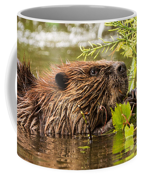 Beaver Coffee Mug featuring the photograph Busy As A Beaver by Everet Regal