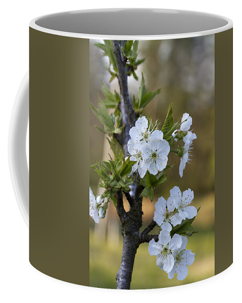 Cherry Coffee Mug featuring the photograph Cherry Blossoms In White by Kathy Clark