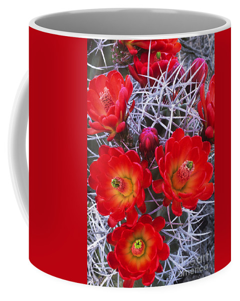 Claretcup Cactus Coffee Mug featuring the photograph Claretcup Cactus In Bloom Wildflowers by Dave Welling