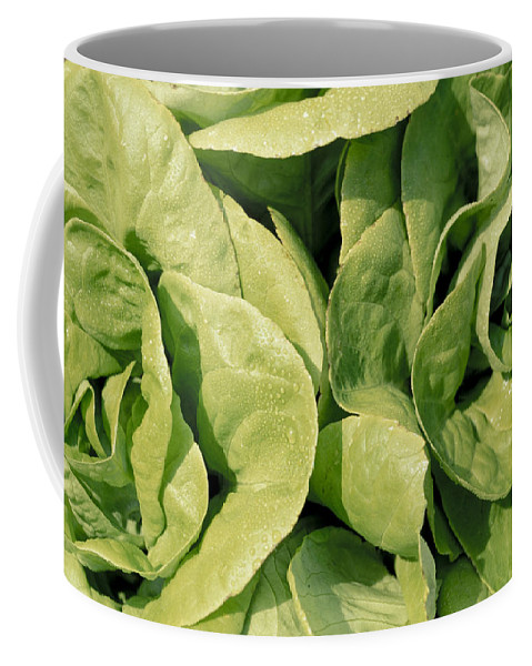 No People; Horizontal; Outdoors; Day; Upward View; Close-up; Full Frame; Growth; Agriculture; Food And Drink; Healthy Eating; Natural Pattern; Boston Lettuce; Freshness; Vegetable; Green; Lettuce Coffee Mug featuring the photograph Closeup Of Boston Lettuce by Anonymous
