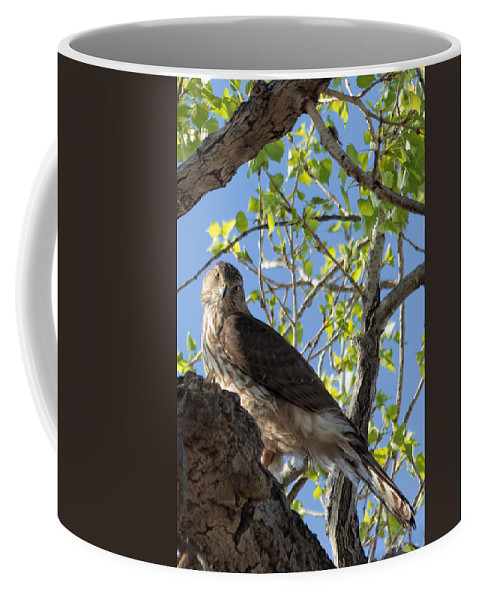Cooper�s Hawk Coffee Mug featuring the photograph Cooper's Hawk In A Cottonwood by Kathleen Bishop