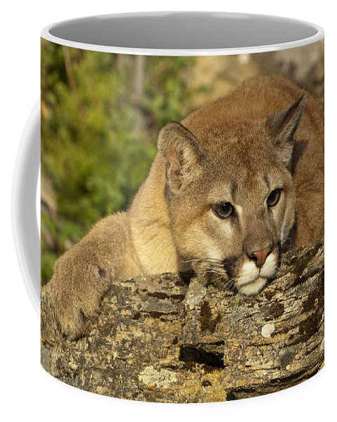 Cougar Coffee Mug featuring the photograph Cougar On Lichen Rock by Sandra Bronstein