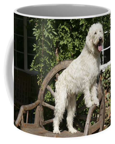 Labradoodle Coffee Mug featuring the photograph Cream Labradoodle On Wooden Chair by John Daniels