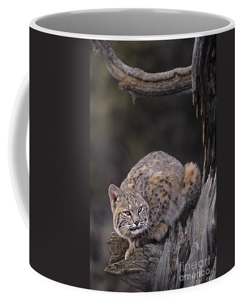North America Coffee Mug featuring the photograph Crouching Bobcat Montana Wildlife by Dave Welling
