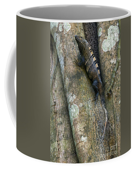 Black Spiny-tailed Iguana Coffee Mug featuring the photograph Ctenosaur 3 by Arterra Picture Library