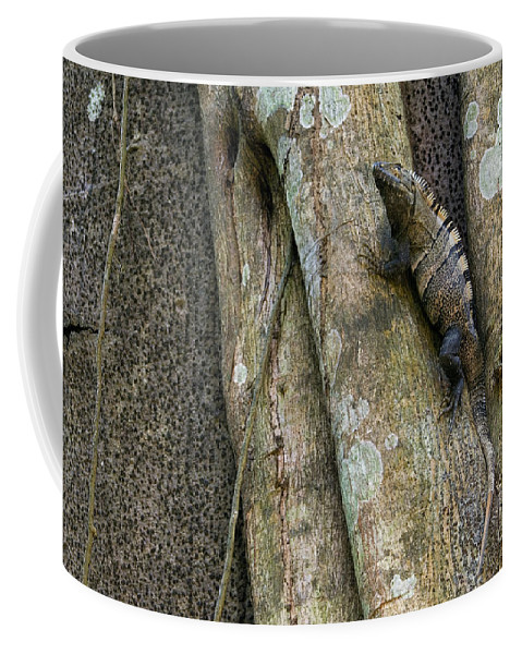 Black Spiny-tailed Iguana Coffee Mug featuring the photograph Ctenosaur 5 by Arterra Picture Library