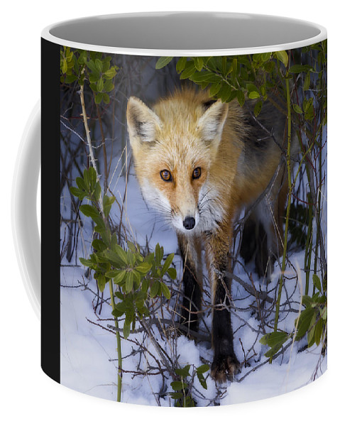 Red Fox Coffee Mug featuring the photograph Curious Red Fox by Susan Candelario