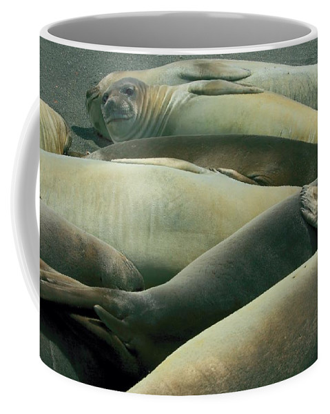 Juvy Elephant Seal Coffee Mug featuring the photograph Elephant Seal Pups by Amanda Stadther