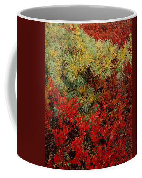 Maine Coffee Mug featuring the photograph Fall Blueberries And Pine by Tom Daniel