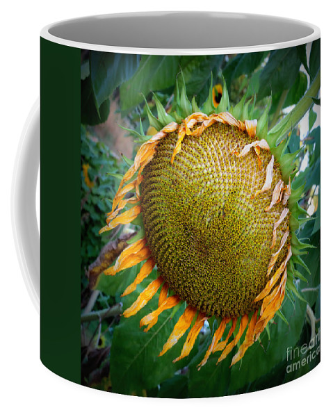 Sunflower Coffee Mug featuring the photograph Giant Sunflower Drama by Carol Groenen