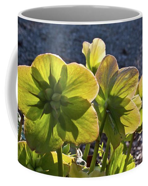 Heleborus Coffee Mug featuring the photograph Helleborus Backlight Blossoms 2 by Douglas Barnett