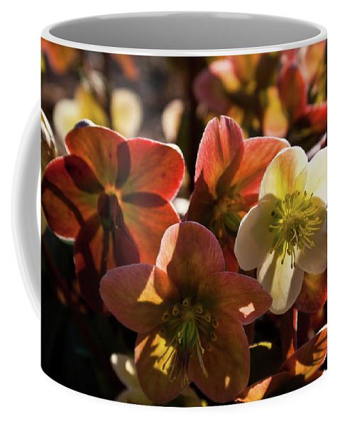 Helleborus Coffee Mug featuring the photograph Helleborus Backlight Blossoms by Douglas Barnett