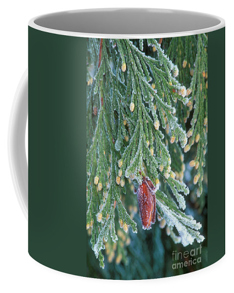 North America Coffee Mug featuring the photograph Hoarfrost On Pine Bough Yosemite National Park by Dave Welling