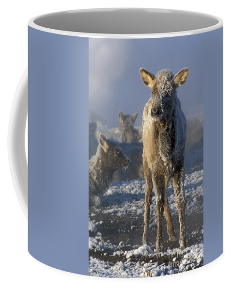 Yellowstone Coffee Mug featuring the photograph Hoarfrosted Elk Calf by Sandra Bronstein