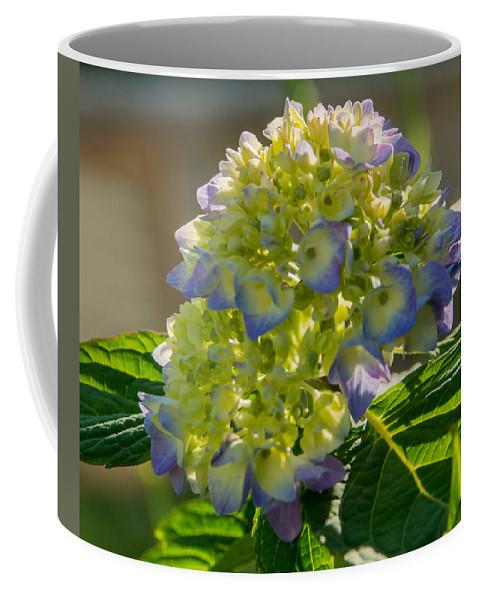 Hydrangea Coffee Mug featuring the photograph Hydrangeas First Blush by Photographic Arts And Design Studio