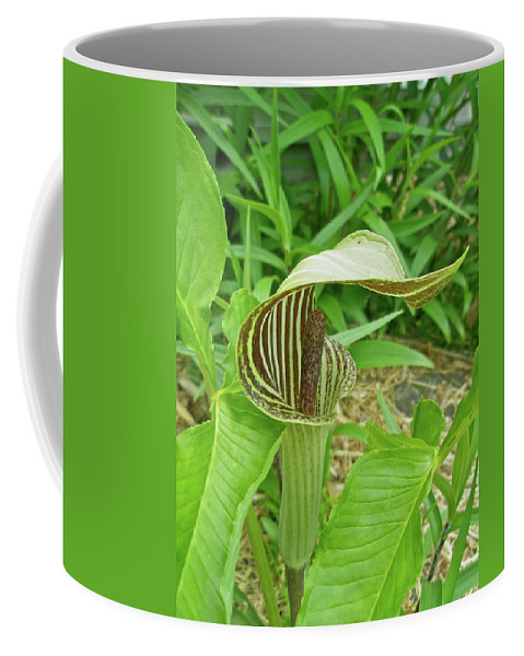 jack-in-the-pulpit Coffee Mug featuring the photograph Jack In The Pulpit - Arisaema Triphyllum by Mother Nature
