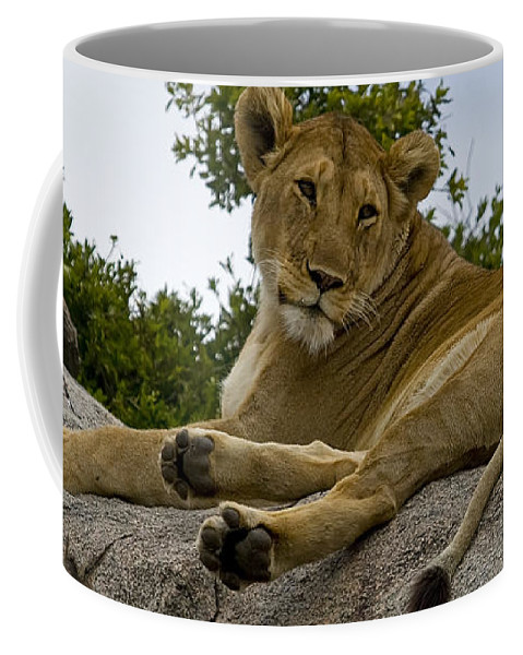 Panthera Leo Coffee Mug featuring the photograph Lion  #1646 by J L Woody Wooden