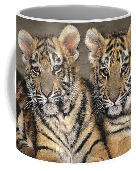 Bengal Tigers Coffee Mug featuring the photograph Little Angels Bengal Tigers Endangered Wildlife Rescue by Dave Welling