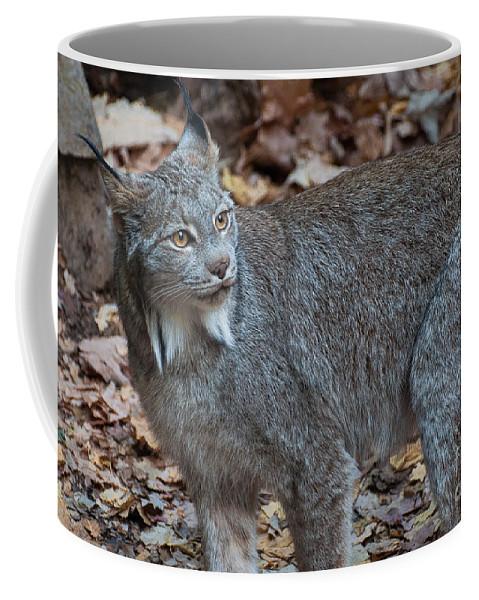 Canadian Lynx Coffee Mug featuring the photograph Lynx Eyes by Bianca Nadeau